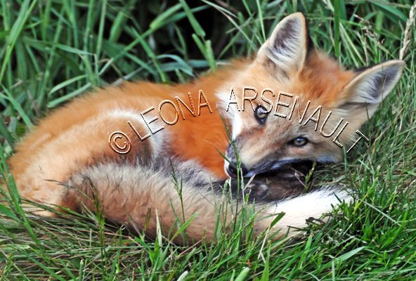 RED FOX;FOX;ANIMAL;MAMMAL;WILDLIFE;CARNIVORE;VULPES;KIT;CUB;BABY;PUP;LAND MAMMAL;